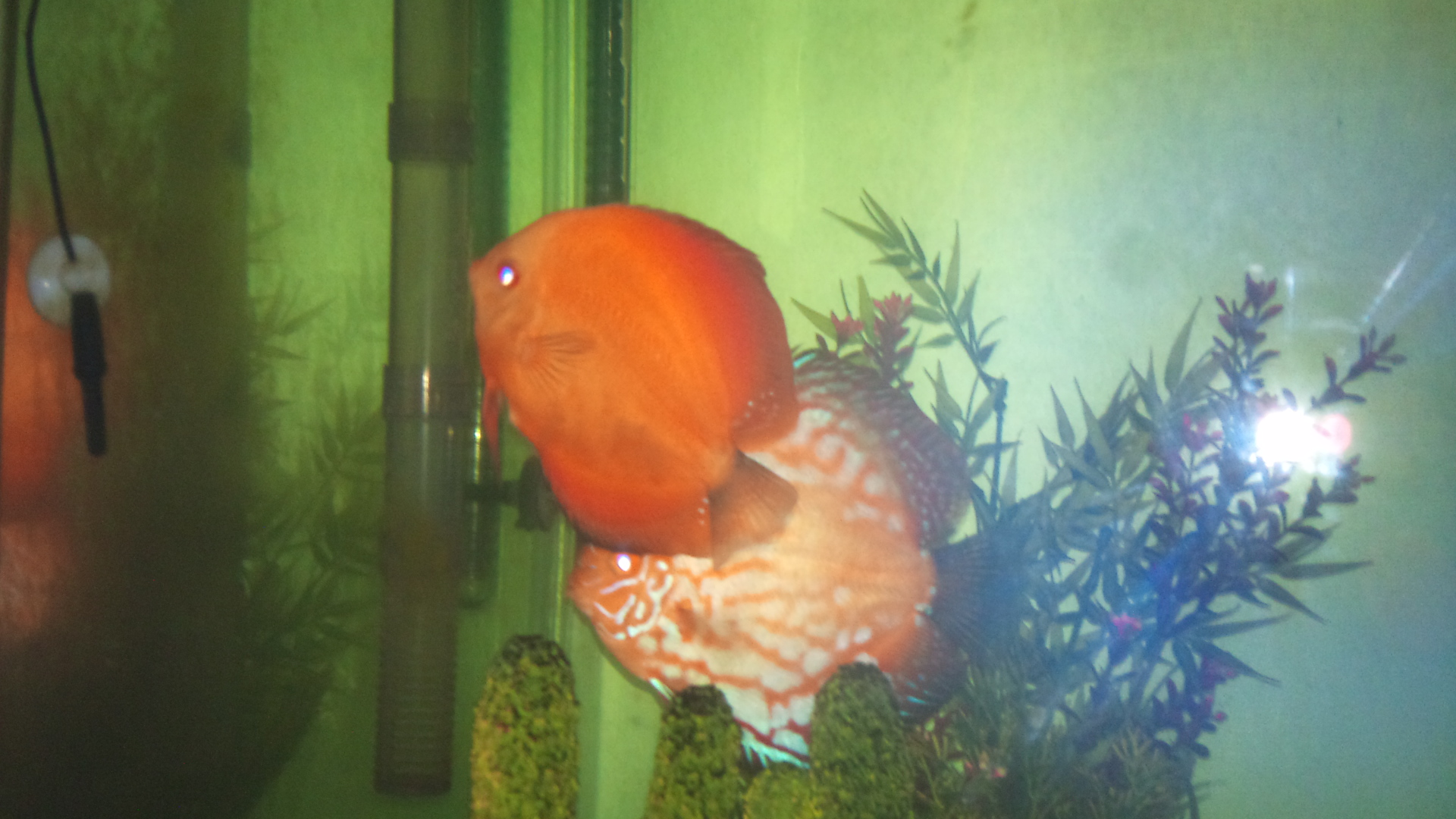 Discus fish for sale san diego thread six 5 5 inch for Koi for sale san diego